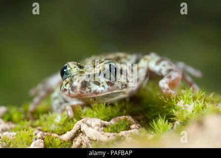 Iberian speckled sapillo (Pelodytes ibericus), amphibian - Stock Photo