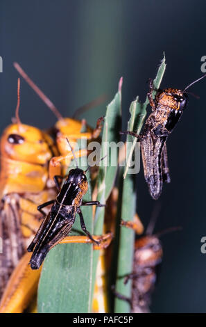 Migratory locust, Locusta migratoria, on gregarious yellow coloration. Adults and young. The migratory locust is polyphenic. It transitions between - Stock Photo