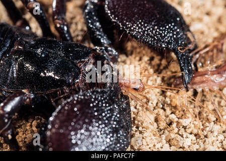Giant forest scorpion, Heterometrus swammerdami, eating a centipede. Is the largest scorpion in the world with 23 cm in length and as much as - Stock Photo