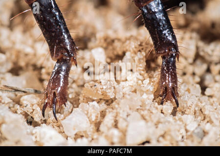 Giant forest scorpion, Heterometrus swammerdami, walking legs detail. Is the largest scorpion in the world with 23 cm in length and as much as - Stock Photo