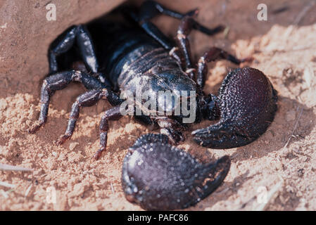Giant forest scorpion, Heterometrus swammerdami, coming out of the burrow. Is the largest scorpion in the world with 23 cm in length and as much as - Stock Photo