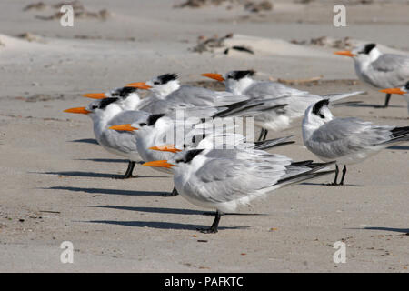 Royal Tern, February 13th, 2008, at Bon Secour National Wildlife Refuge in Alabama, USA. - Stock Photo