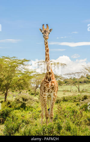 Full height photo of a Masai or Kilimanjaro Giraffe standing in bushes on a beautiful sunny day in Hell's Gate National Park on a safari in Kenya - Stock Photo