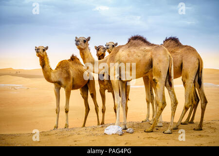 A herd of wild camels in the desert near Al Ain, UAE Stock Photo