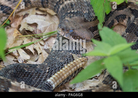 Rattlesnake Rattles Stock Photo: 150837185 - Alamy