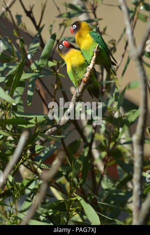 Two Lovebird Birds looking at each other sitting on a tree branch. Lovebirds are native to the African continent. - Stock Photo