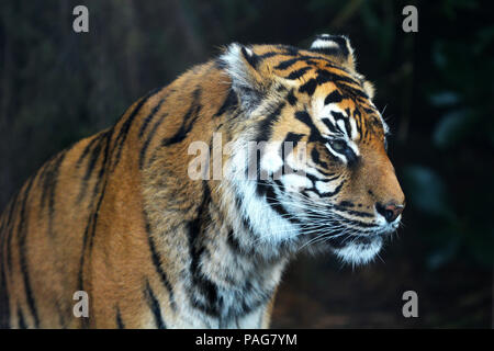 Sumatran tiger face looking away.Sumatran tiger is endangered animal primarily due to conversion for palm oil plantations as Sumatra Island has lost 8 - Stock Photo
