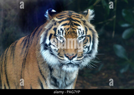 Sumatran tiger face looking a the camera.The tiger is endangered animal primarily due to the palm oil plantations as Sumatra Island has lost 85 percen - Stock Photo