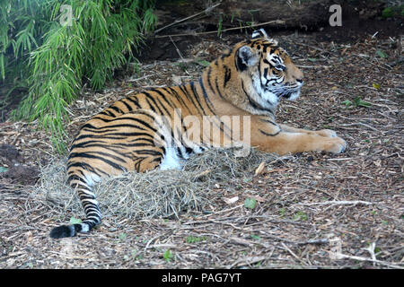 Sumatran tiger lying down on the ground full body.It's endangered animal primarily due to conversion for palm oil plantations as Sumatra Island has lo - Stock Photo
