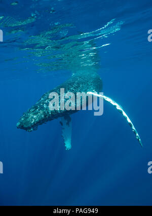 Humpback whales dives off the coast of Maui, Hawaii. - Stock Photo