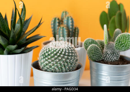 Collection of various cactus and succulent plants in different pots. Potted cactus house plants on white shelf against pastel mustard colored wall.