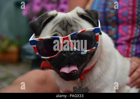 Mousehole, Cornwall, UK. 23rd July 2018. UK Weather. Titan the pug pup seen cooling off in his back garden in Cornwall, with no sign of the hot weather letting up. Credit: Simon Maycock/Alamy Live News - Stock Photo