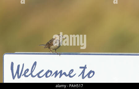 A pretty Meadow Pipit (Anthus pratensis) perching on a welcome to signpost. - Stock Photo