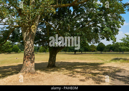 Trees in Clissold Park, Stoke Newington, North London UK, during the hot dry conditions of July 2018 - Stock Photo