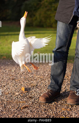 A white Pekin duck, Anas platyrhynchos, that wouldn't leave a tourist alone and kept flying up to her hand looking for bread! Near Warwick, England - Stock Photo