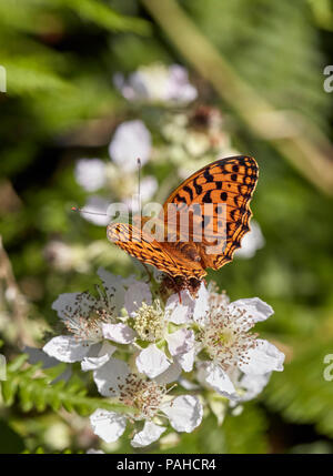 High Brown Fritillary on Bramble flowers. Aish Tor, Dartmoor National Park, Devon, England. - Stock Photo