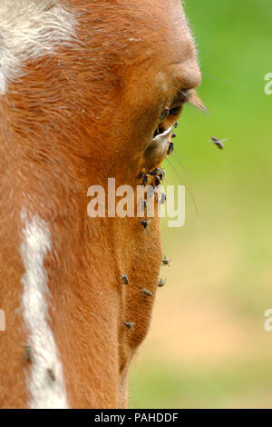 Flies on a horses face in summer - Stock Photo