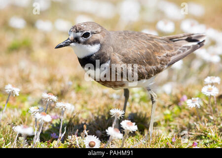Danded dotterel (Charadrius bicinctus exilis), Auckland Islands, New Zealand - Stock Photo
