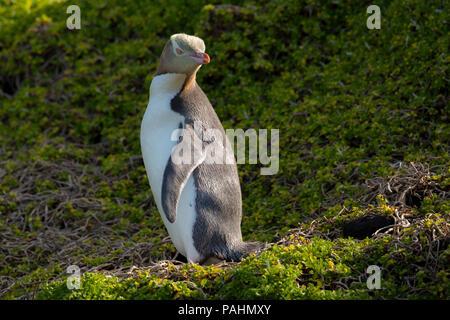 Yellow-eyed Penguin, Enderby Island, New Zealand - Stock Photo