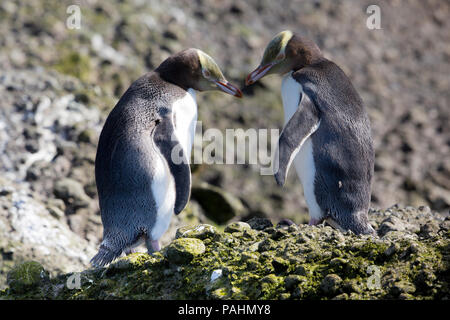 Yellow-eyed Penguin, Enderby Island, New Zealand - Stock Photo
