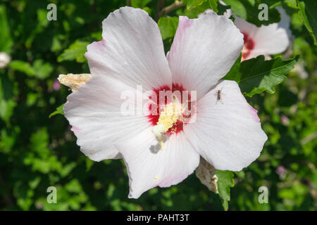 Hibiscus syriacus rose of Sharon 'Red Heart' white flower with ant. - Stock Photo