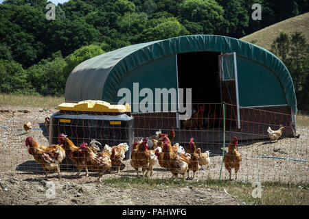 chicken, fledgling, nestling,Free-range poultry - In poultry-keeping, 'free range' is widely confused with yarding, keeping poultry in fenced area - Stock Photo