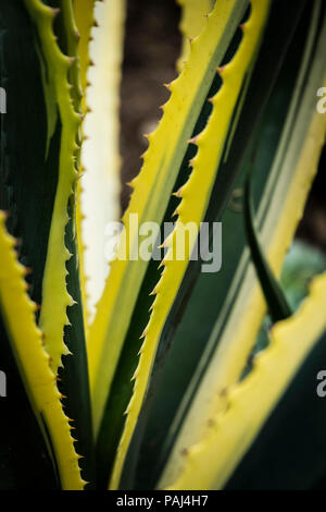 A closeup view of the edge of the spikey leaves of an Agave americana Marginata plant. - Stock Photo
