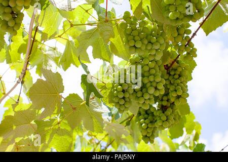 Grape, Weintrauben - Stock Photo