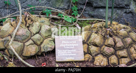 Dioscorea elephantipes , also known as elephant's foot. This plant is an unusual plant which can be found in South Africa. - Stock Photo
