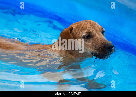 Golden Terrier dog paddling in a blue paddling pool - Stock Photo