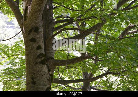 Caucasus mixed forests in Ilisu natural reserve, north-western Azerbaijan - Stock Photo