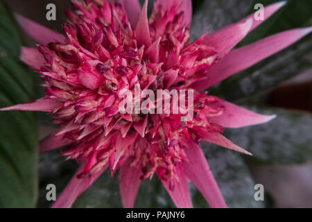 Billbergia pyramidalis also known as Flaming torch is a species of Bromeliad. Nature wallpaper background of flower. - Stock Photo