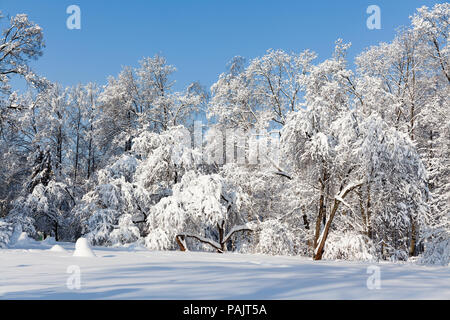 Beautiful winter forest, snow covered trees against blue sky. Cold season weather snowy landscape. Snowy xmas background - Stock Photo