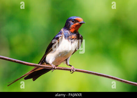 bird with a red mask sitting on a wire - Stock Photo