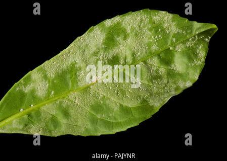 Powdery mildew, Podosphaera pannosa or tridactyla, on cherry laurel leaf undersides in a garden hedge, July - Stock Photo
