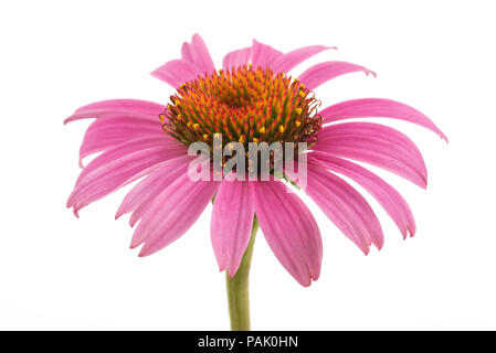 Coneflower with leaves  isolated on white background - Stock Photo