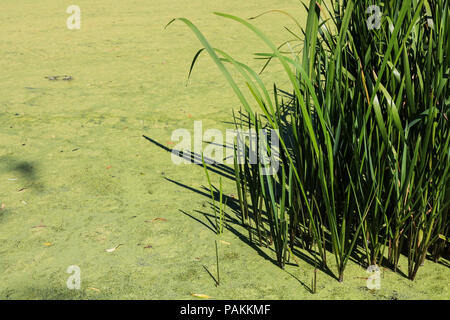 LONDON, UK - 24 JULY 2018 :  Green coating duckweed on a lake in Hampton Court Park London  due to the recent high temperatures Credit: amer ghazzal/Alamy Live News - Stock Photo