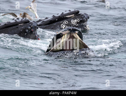 Humpback Whales, Cape Cod, Massachusetts - Stock Photo