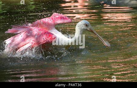Bathing Roseate Spoonbill (Platalea ajaja) flapping wings in a lake. - Stock Photo