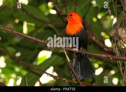South American Scarlet or Orange headed Blackbird (Amblyramphus holosericeus) in a tree. - Stock Photo