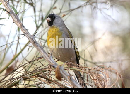 Lawrence's goldfinch (Spinus lawrencei, Carduelis lawrencei), native to California and Northern Mexico - Stock Photo