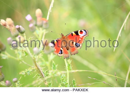 Beautiful Peacock Butterfly Aglais io genus Inachis collecting pollen from thistles at Dove Stone National Park Peak District Greenfield Saddleworth - Stock Photo