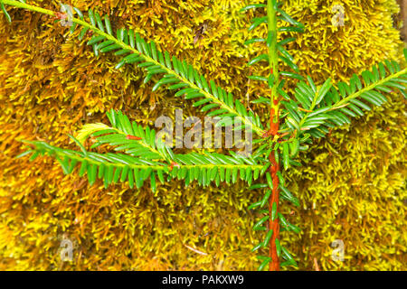 Pacific yew with moss, Rogue Wild and Scenic River, Rogue River National Forest, Rogue-Umpqua National Scenic Byway, Oregon - Stock Photo