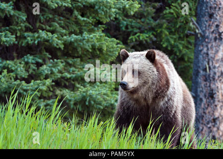A front view of a grizzly bear  Ursus arctos; standing in the green grass at the edge of the forest in his home range in Alberta Canada. - Stock Photo