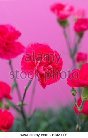 Dianthus plumarius 'Bright pink' flowers on a flower display. UK - Stock Photo