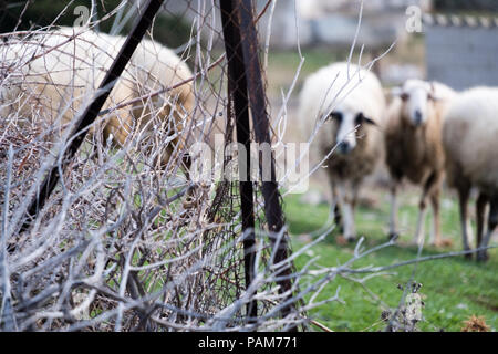 Mountain sheep wondering hungrily the baron hills of Saronida searching for food during the summer, East Attica, Greece, Europe. - Stock Photo