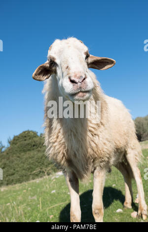 Mountain sheep standing in the blue sky high on the hills of Saronida grazing, East Attica, Greece, Europe. - Stock Photo
