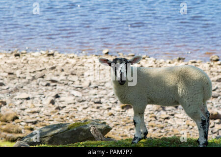 White Ewe Lamb stood by the bank of Gouthwaite Reservoir,Pateley Bridge,Nidderdale,North Yorkshire,England,UK. - Stock Photo