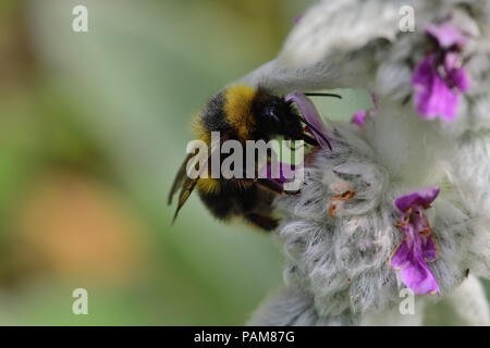 Macro shot of a bumble bee pollinating a woolly hedgenettle flower - Stock Photo