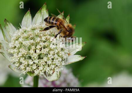 Macro shot of bee pollinating an astrantia flower - Stock Photo